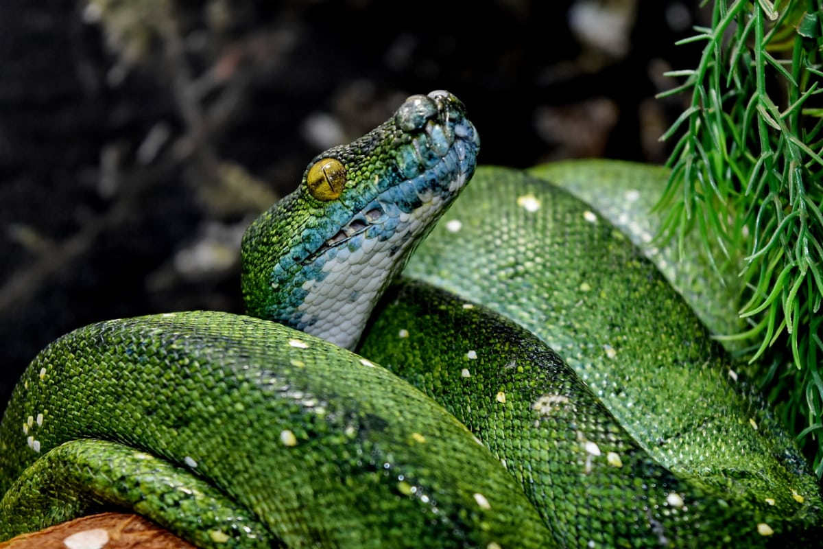 Biologia, perigo, cobra verde, cabeça, pitão, Floresta tropical, animal, animais