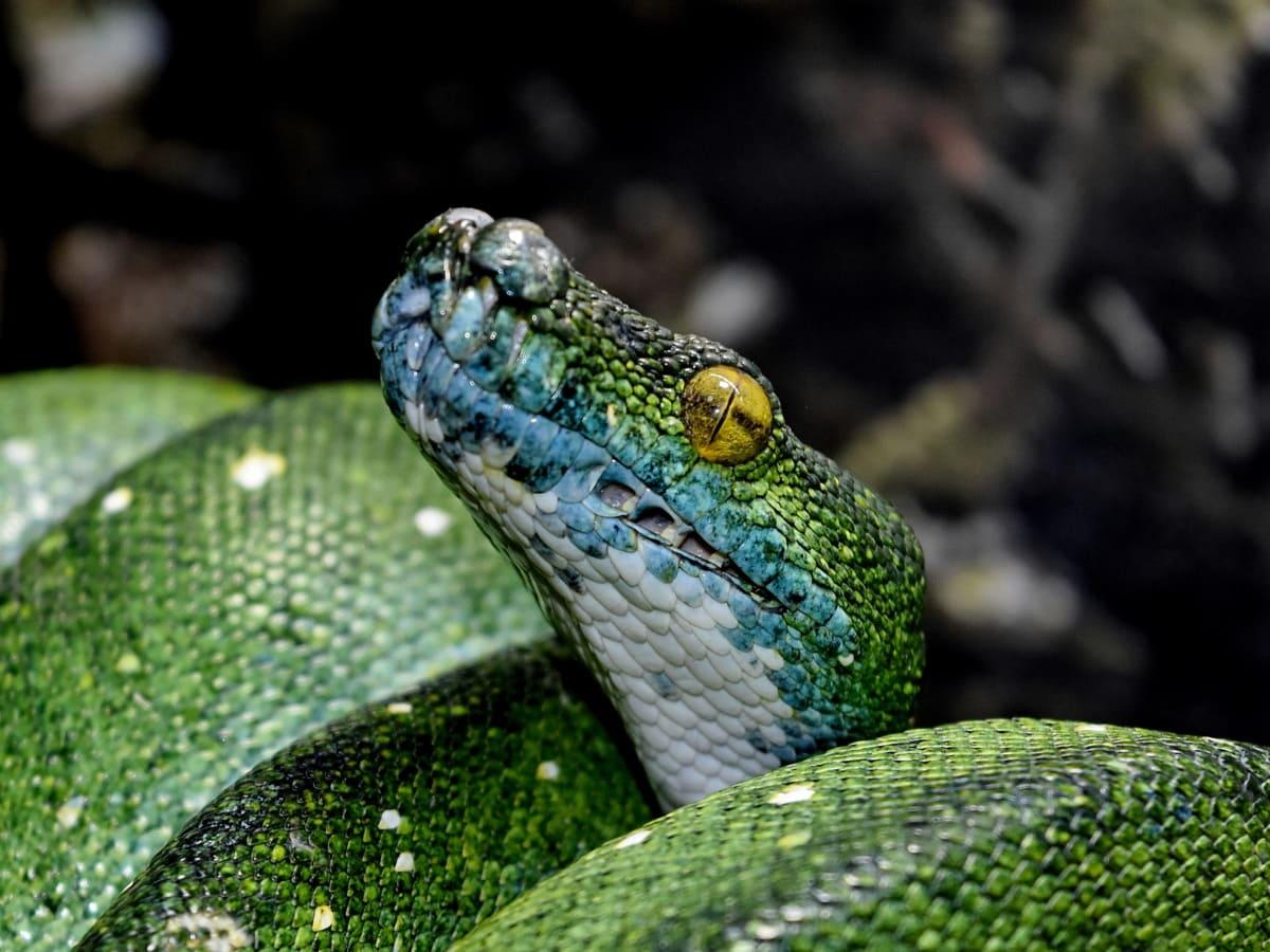 camouflage, mørk grøn, hoved, munden, saalistaja, python, dyr, dyr