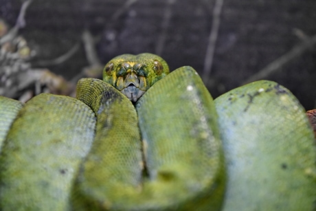 greenish yellow, predator, python, animal, camouflage, color, danger, ecology