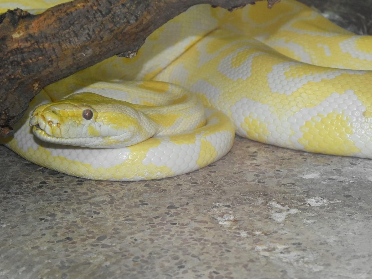 krajta, had, do žluta, Albín, zvíře, biologie, mamba černá, Cobra