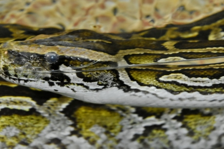 underwater, snake, nature, reptile, pattern, animal, wildlife, python