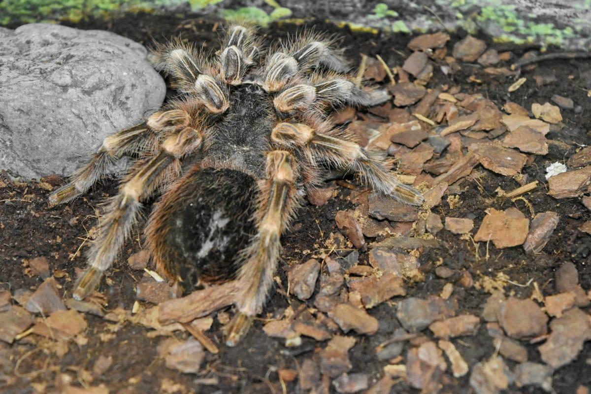 Poison, tarantel, Arachnid, spindel, ryggradslösa djur, naturen, leddjur, Utomhus