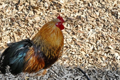 rooster, bird, farm, animal, poultry, chicken, hen, nature