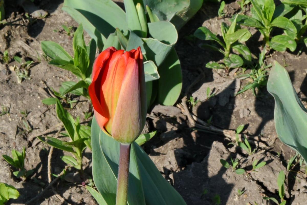 lupienok, rastlín, flóra, kvet, tulipán, krídlo, príroda, Záhrada