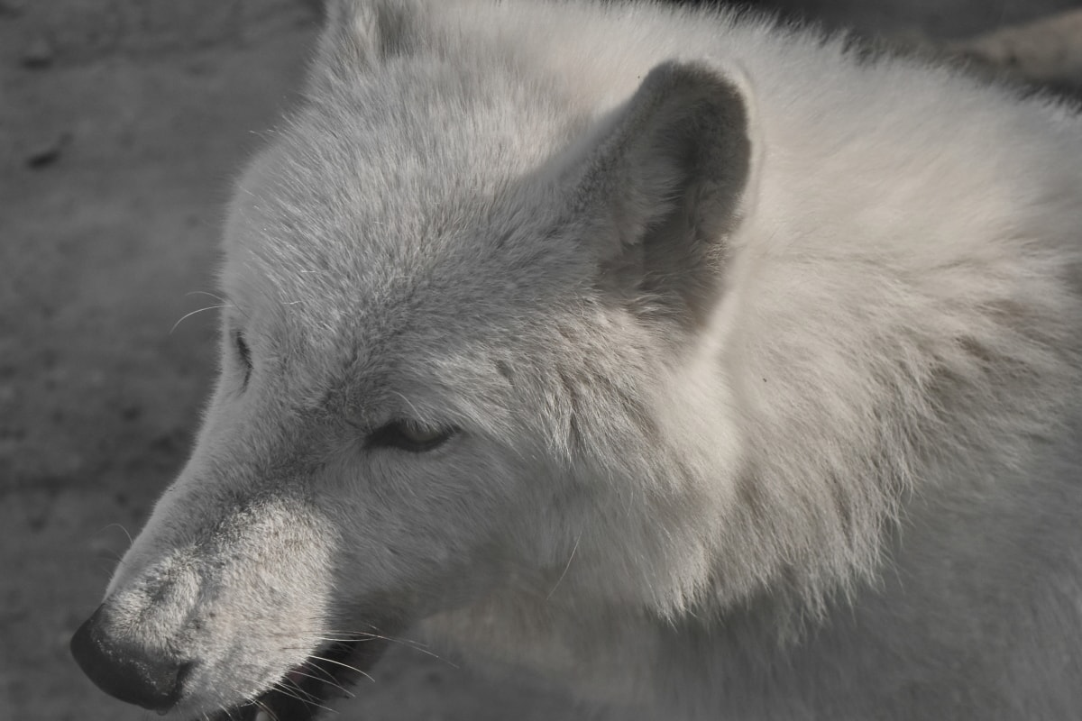 albino, monokrom, hvid, ulv, Wolf pack, canine, pels, dyreliv