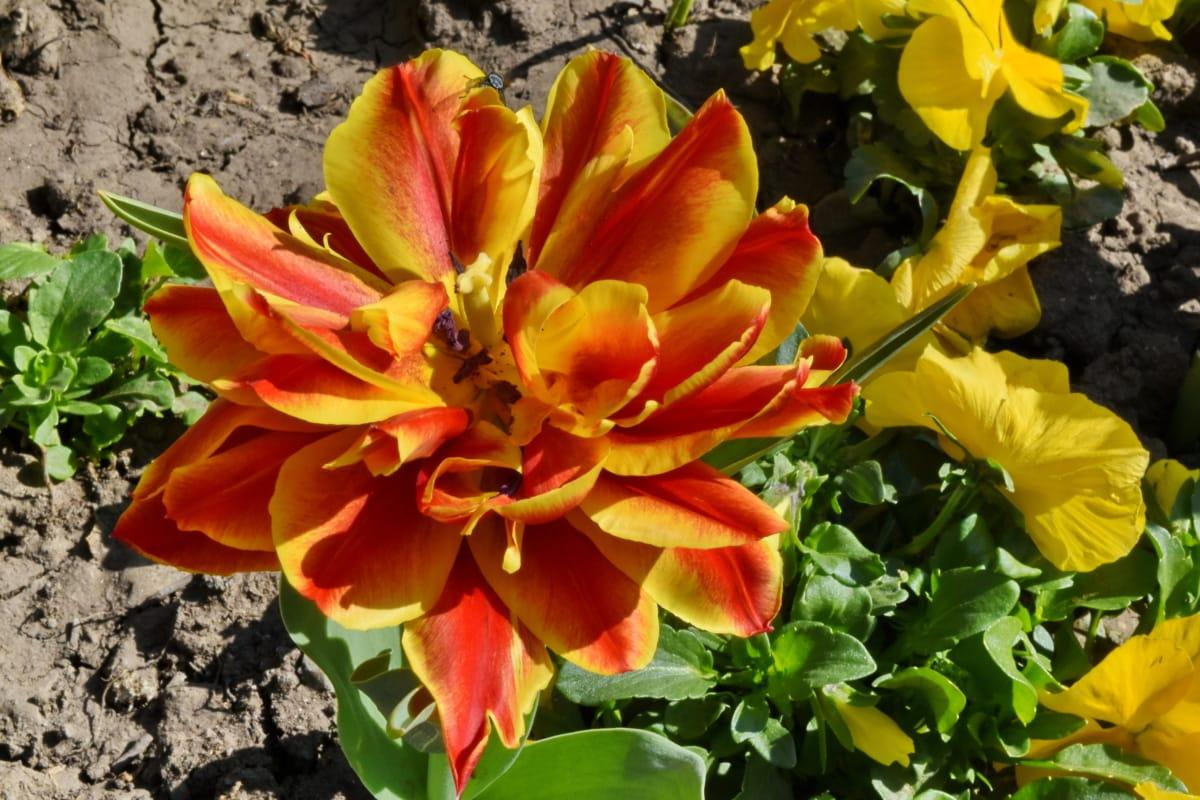 blomma trädgård, rödaktig, tulpaner, trädgård, naturen, Anläggningen, flora, blomma