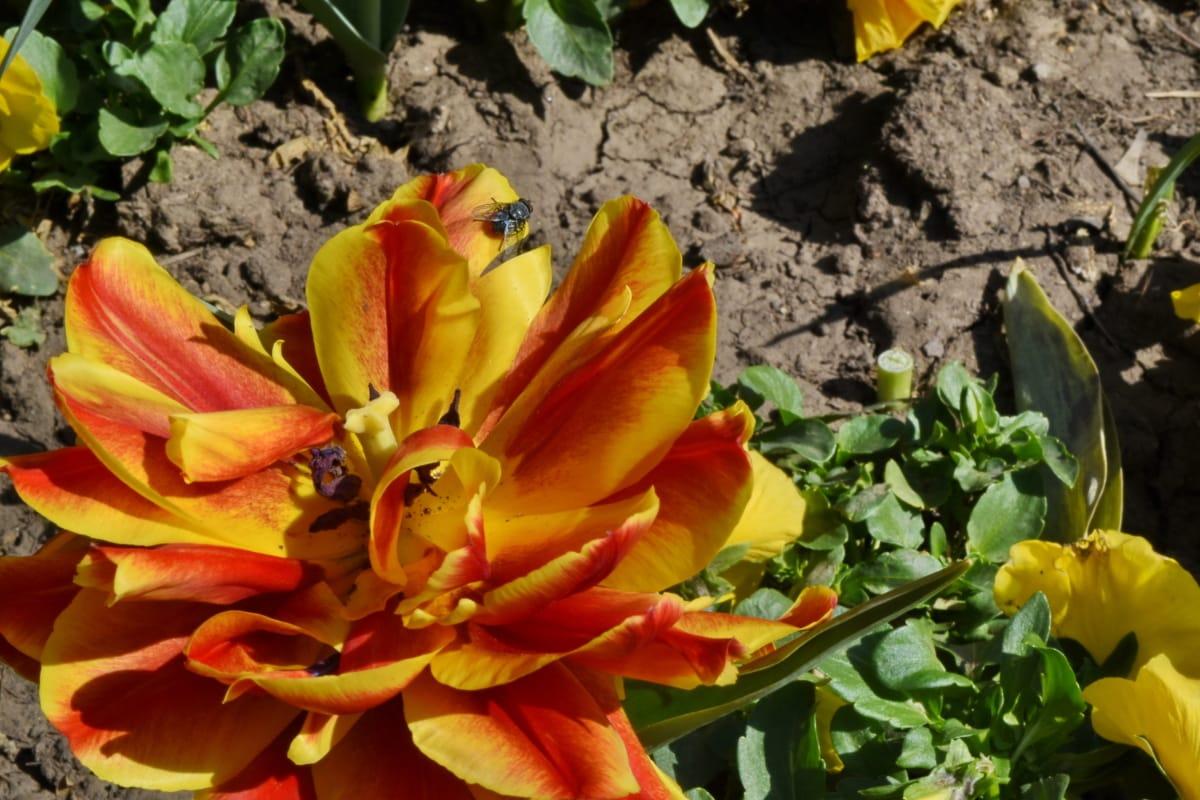 флора, сад, Весна, Пелюстка, Tulip, природа, завод, квітка
