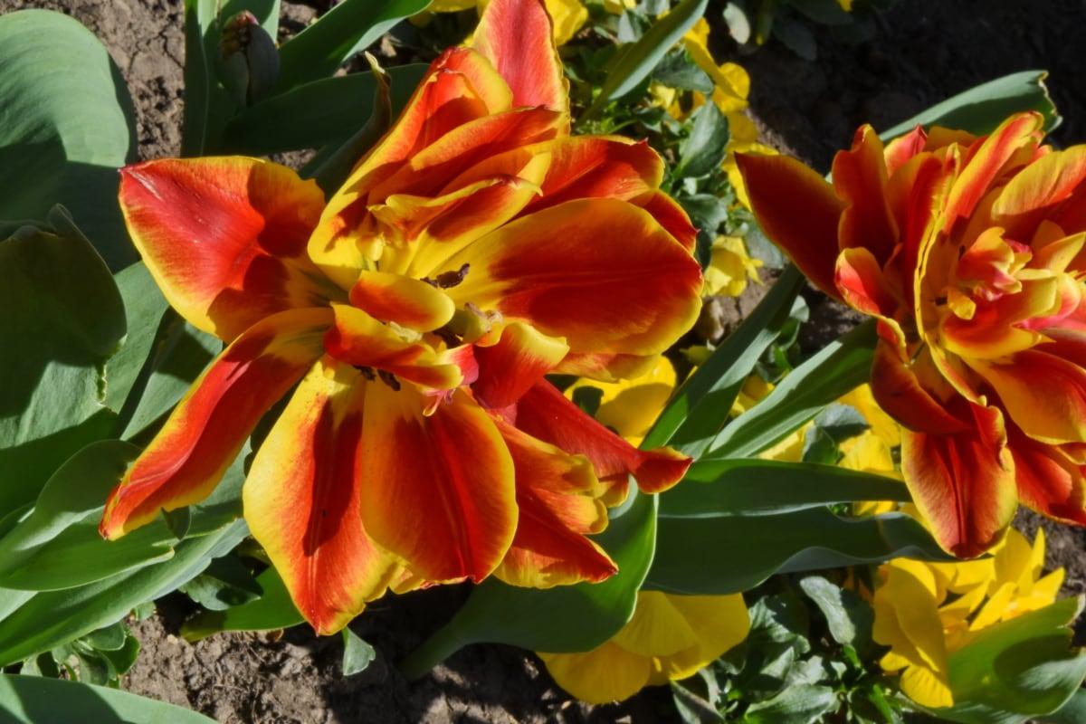 blomma, naturen, tulpan, blomma, trädgård, flora, blad, Anläggningen