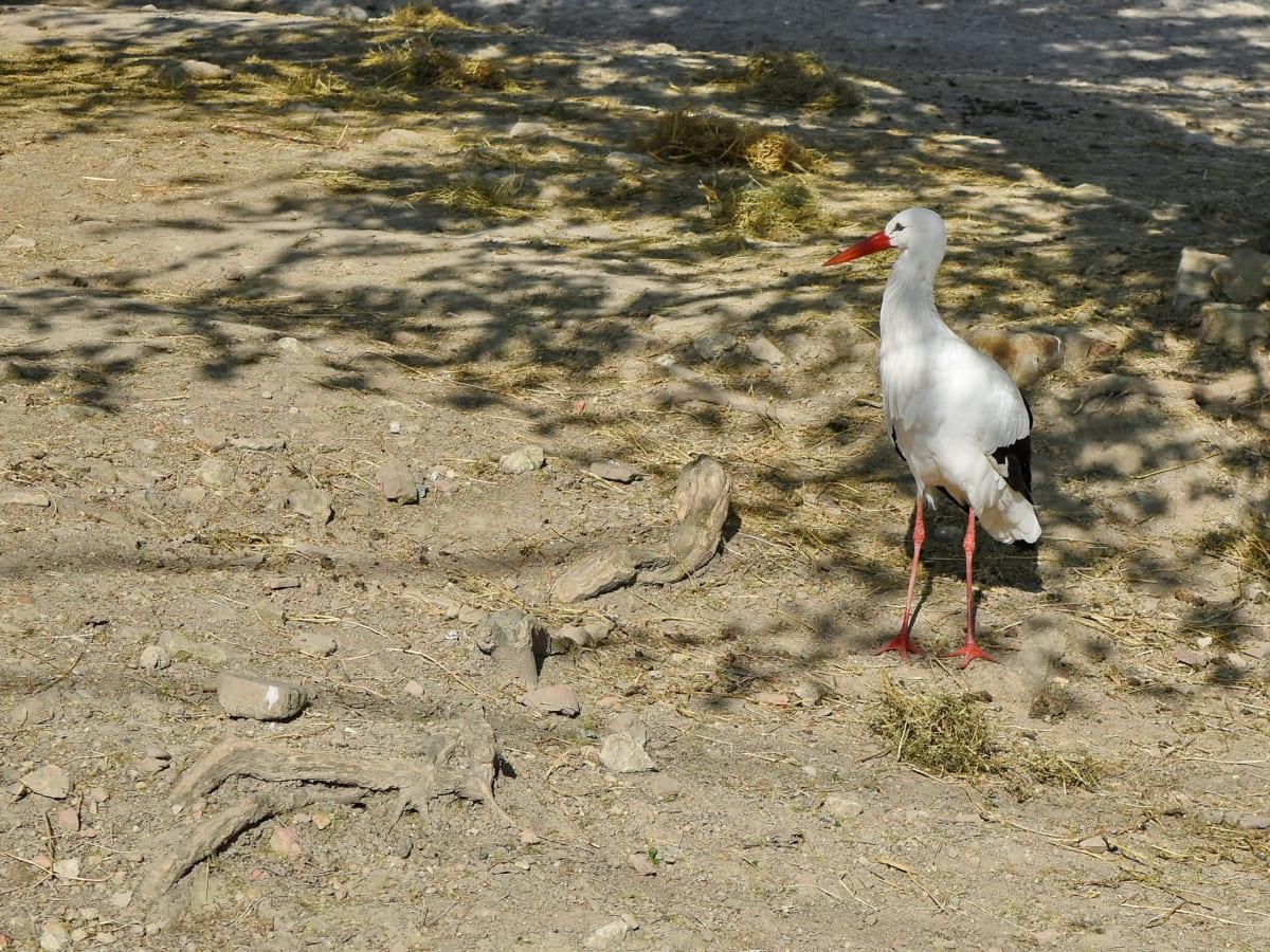 beak, aquatic bird, white stork, wading bird, wildlife, bird, animal, nature
