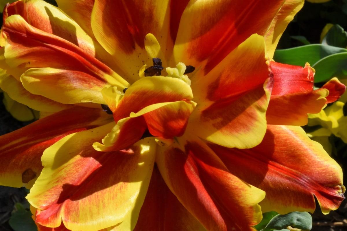 detail, flower garden, flowers, pistil, spring time, tulips, petal, nature