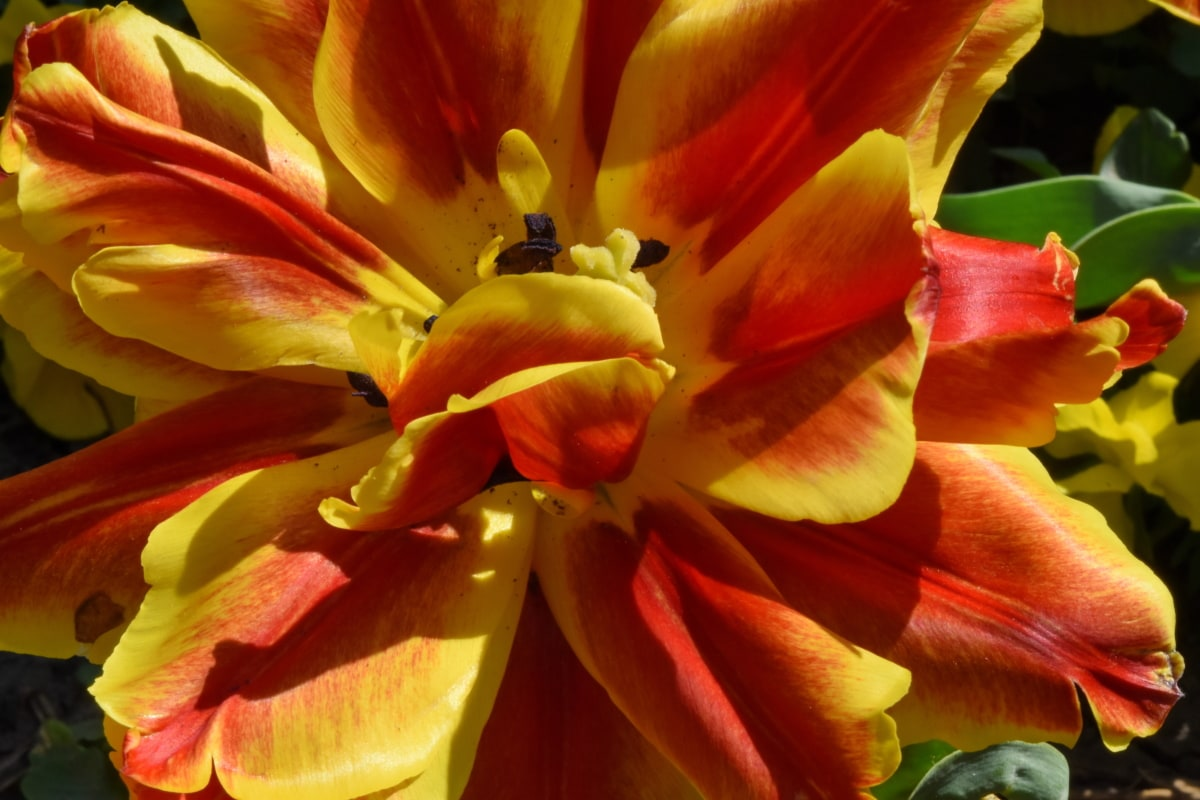 лале, цвят, природата, жълто, разцвет, растителна, венчелистче, цвете