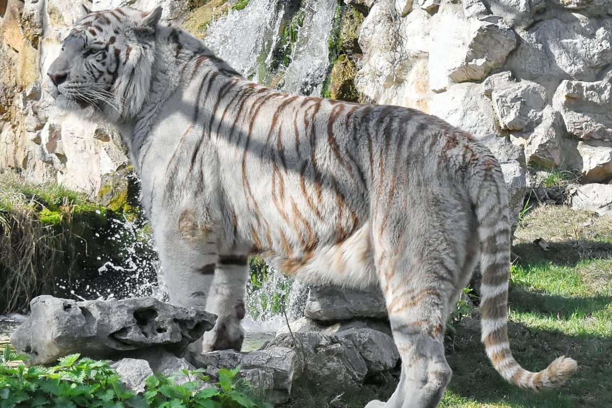 albino, animal, nature, tiger, wildlife, wild, predator, safari