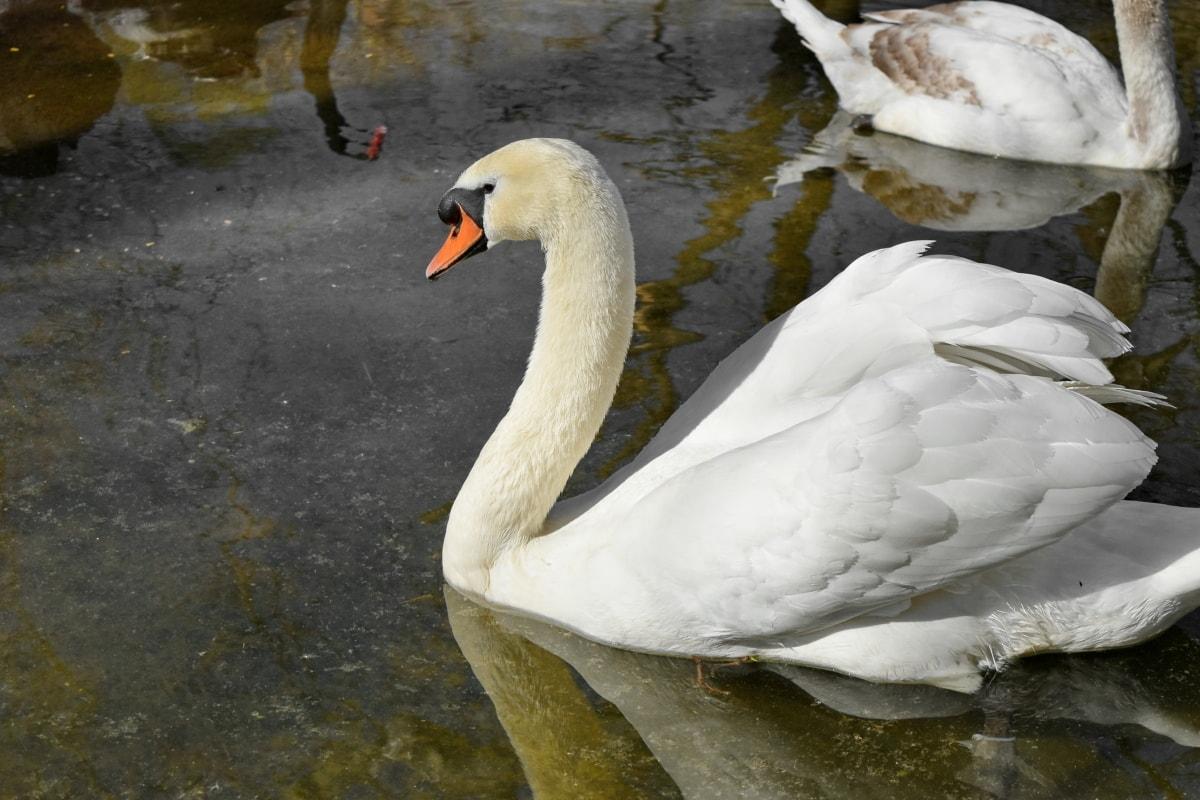 fugl, svane, natur, vand, dyreliv, søen, vandfugle, udendørs