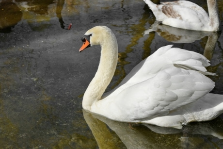 bird, swan, nature, water, wildlife, lake, waterfowl, outdoors
