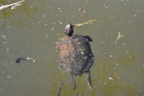 water, turtle, reptile, pool, bird, lake, river, wildlife