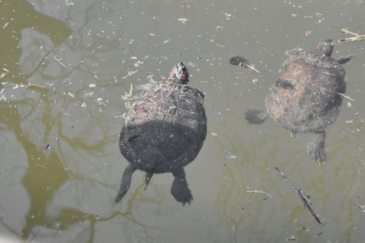 turtle, wildlife, water, lake, bird, reptile, pool, river