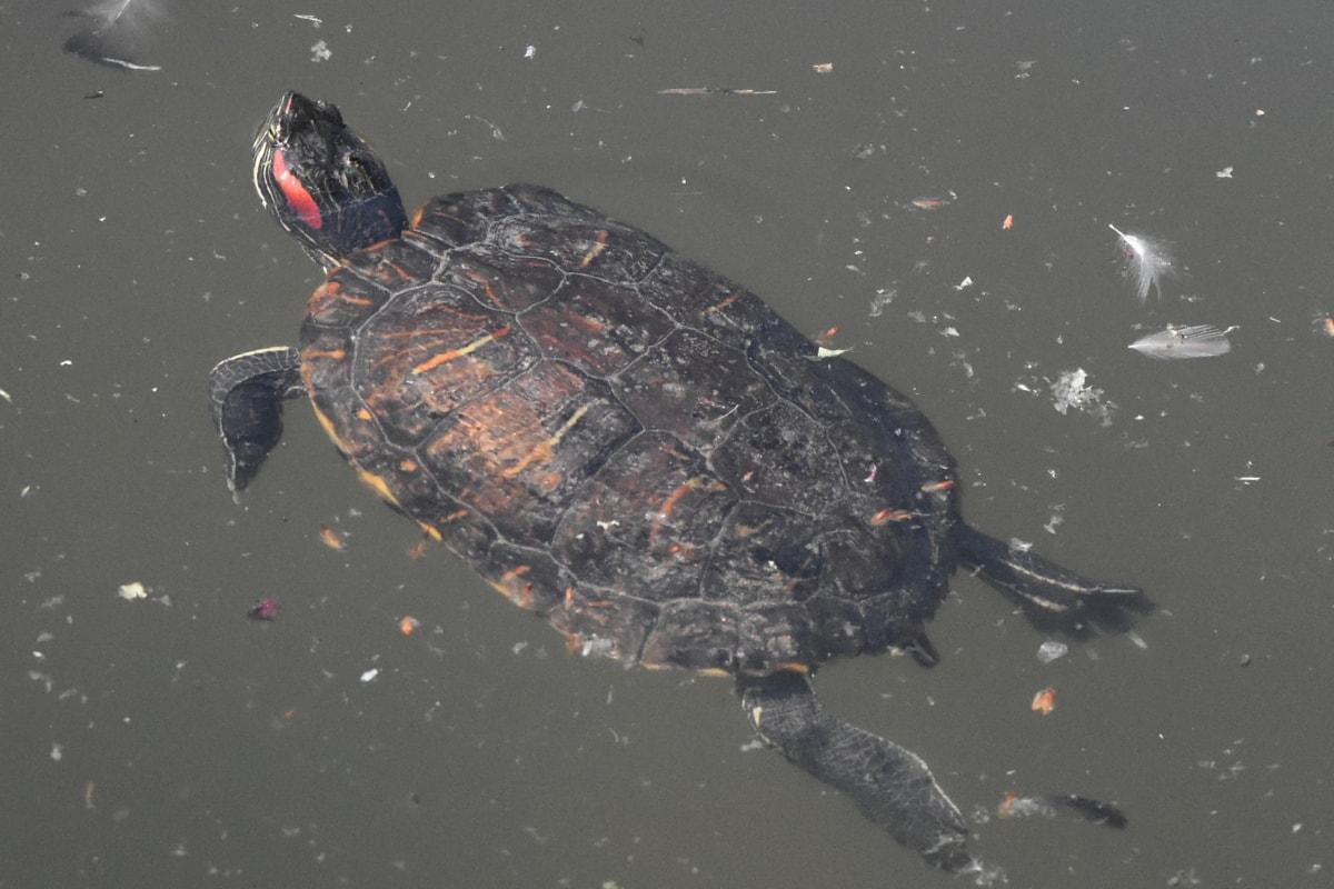 Kaplumbağa, sürüngen, su, Yüzme, Havuzu, yaban hayatı, Amfibi, gün ışığı