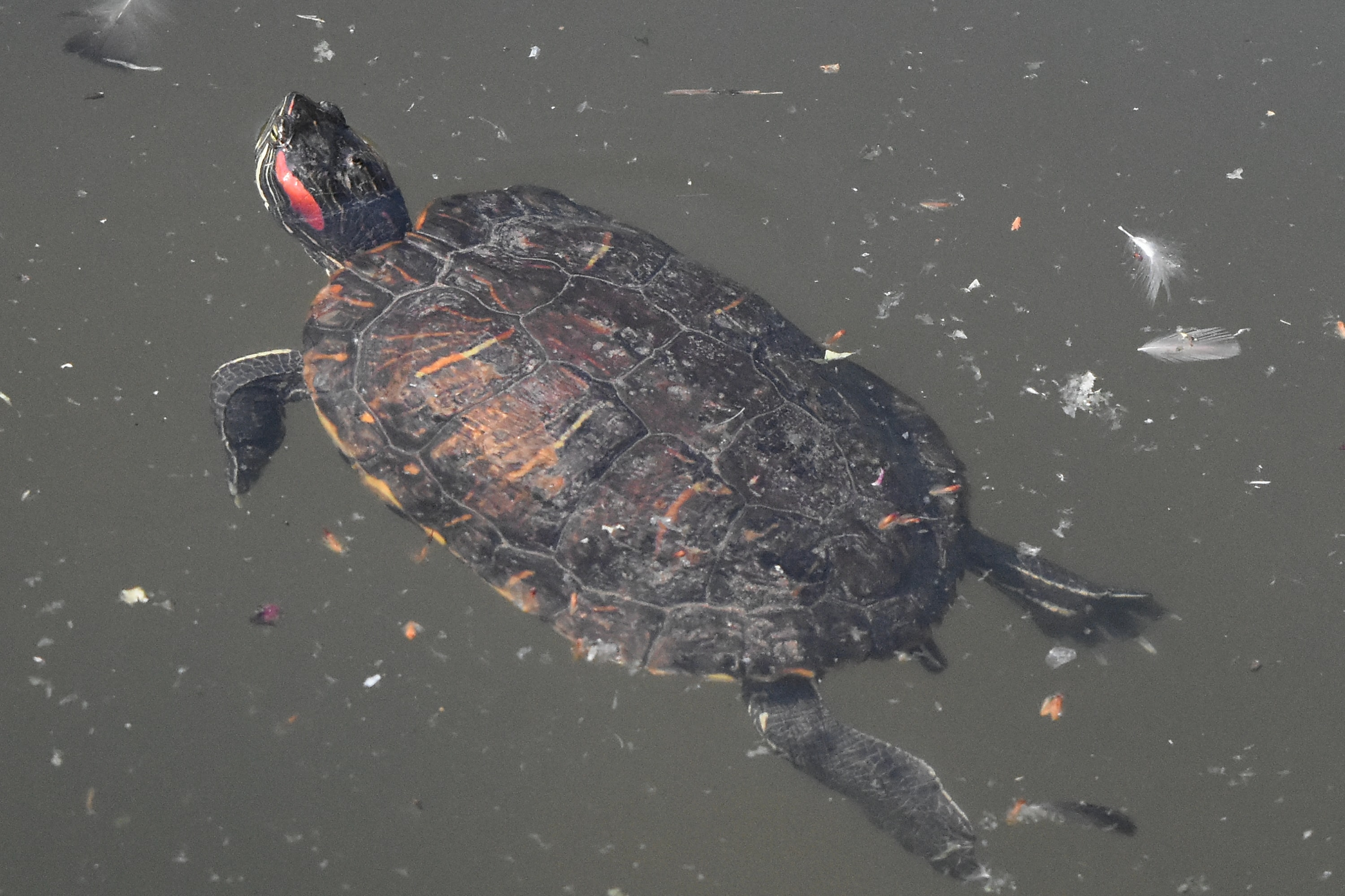 Free picture: turtle, reptile, water, swimming, pool ...
