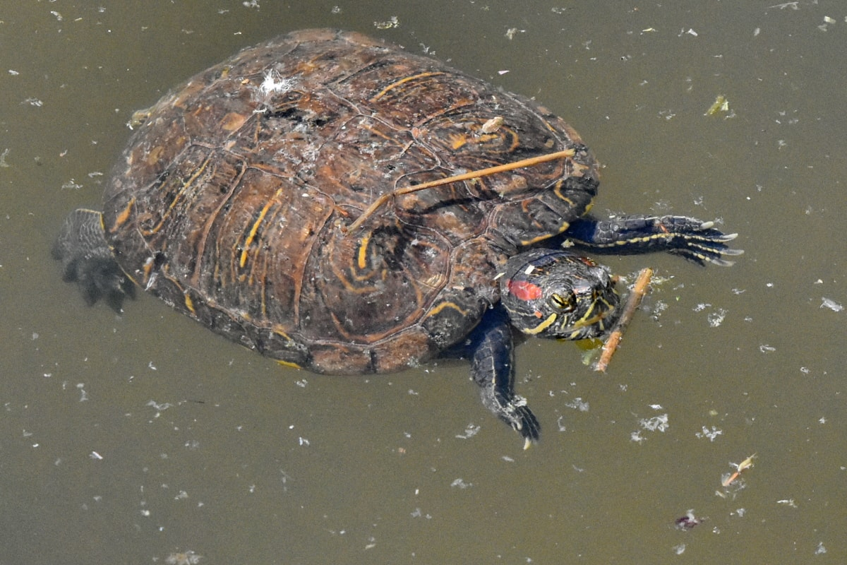 reptile, wildlife, water, turtle, pool, nature, amphibian, swimming