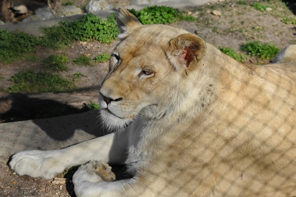 λιοντάρι, σαρκοφάγο ζώο, αρπακτικό, σαφάρι, γάτα, άγρια, άγρια φύση, ζώο