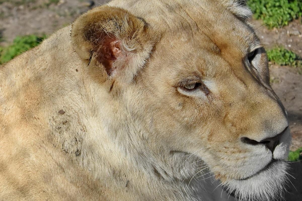 pisica, carnivor, Leu, sălbatice, faunei sălbatice, prădător, Safari, felin