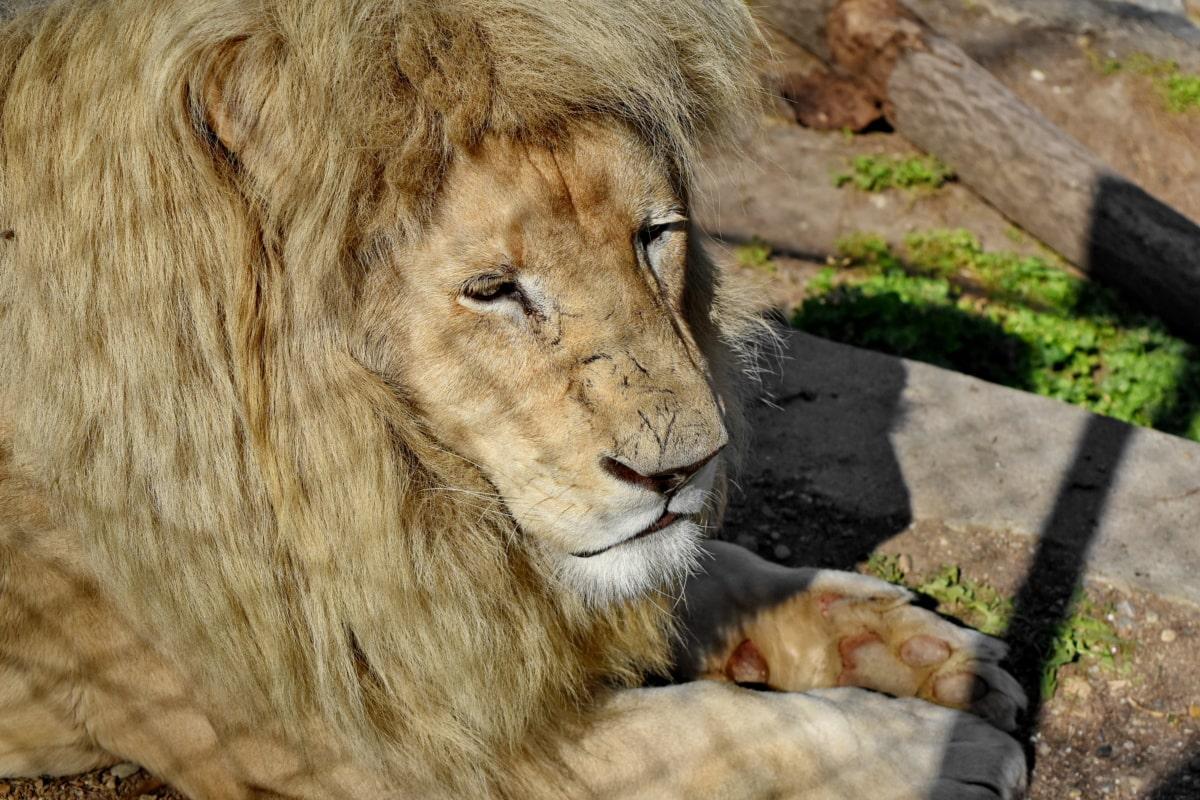 head, lion, safari, carnivore, wildlife, feline, wild, predator