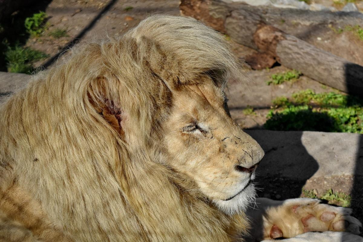 дива природа, котешки, Лъв, месоядни птици, Хищникът, сафари, диви, природата
