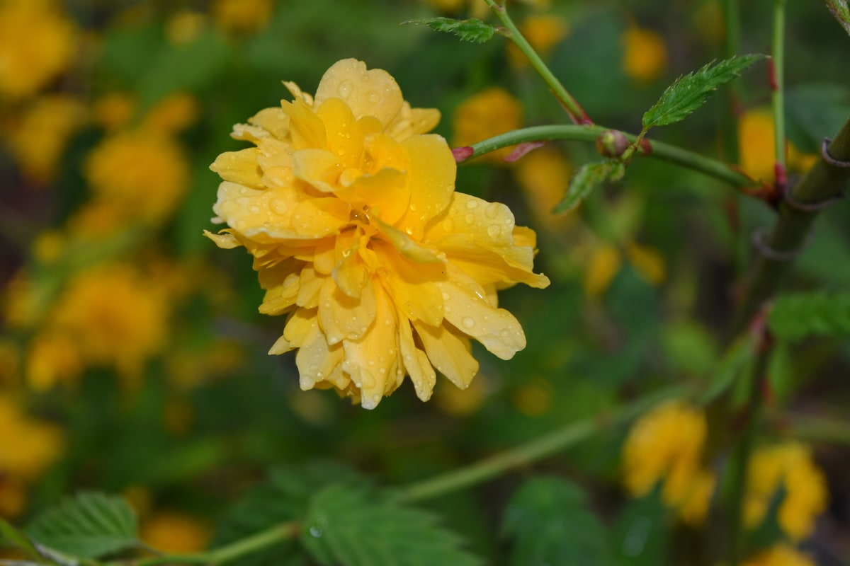 yellow, flora, shrub, leaf, garden, plant, rose, flower