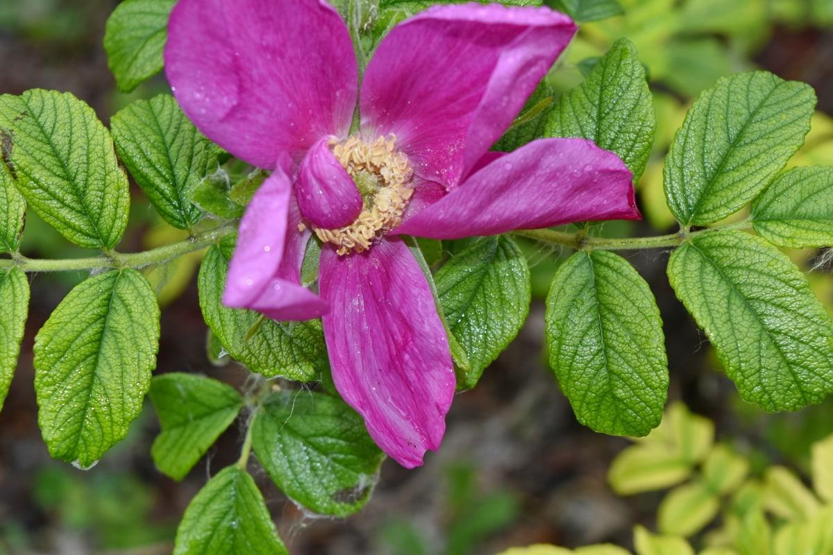 Rosa, nektar, latica, oprašivanje, kiša, ruža, priroda, list