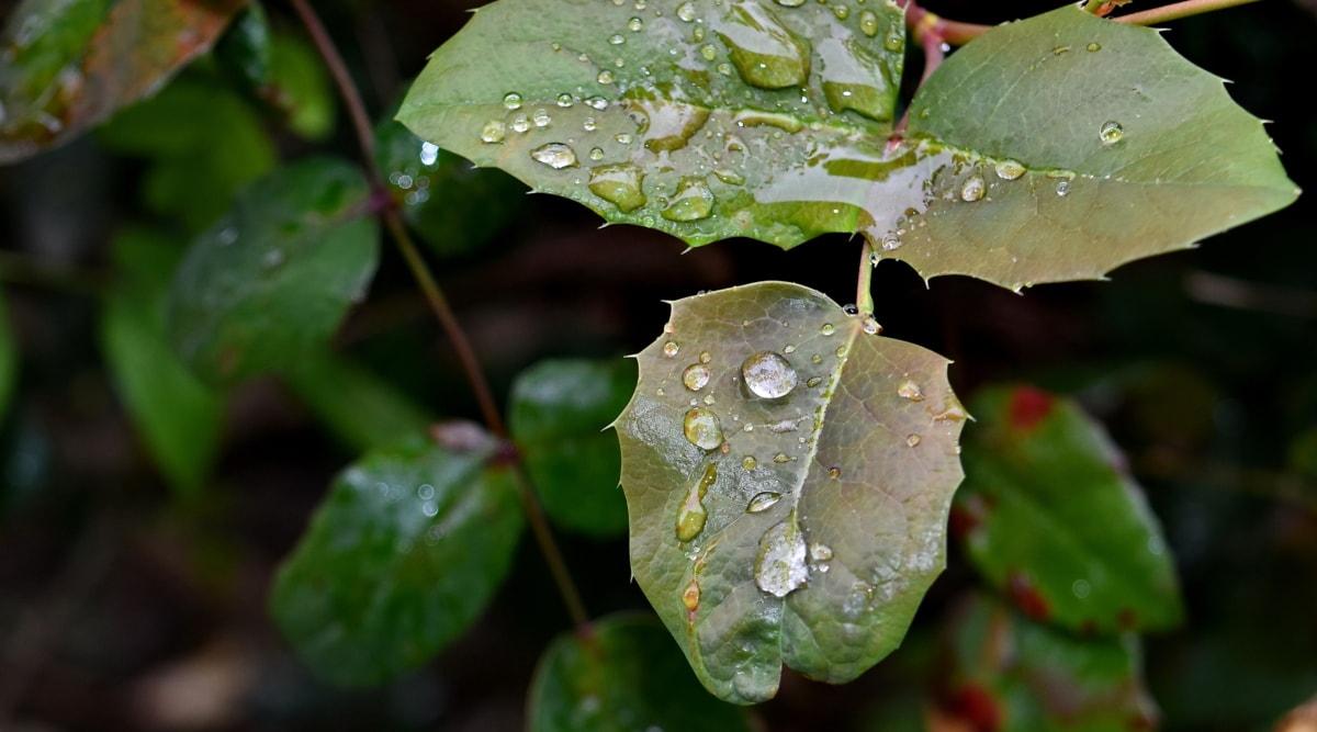 Vihreät lehdet, kaste, lehti, Luonto, kasvisto, sadetta, märkä, Puutarha