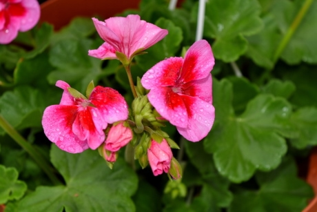 geranium, flower, flora, nature, leaf, summer, garden, blooming