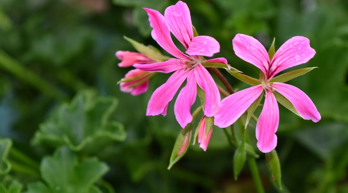 Flora, Příroda, květ, zahrada, léto, list, venku, kvetoucí