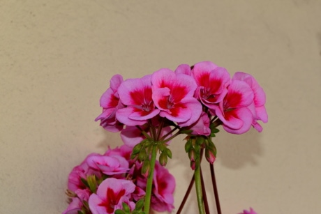bouquet, geranium, pink, flower, plant, nature, flowers, herb
