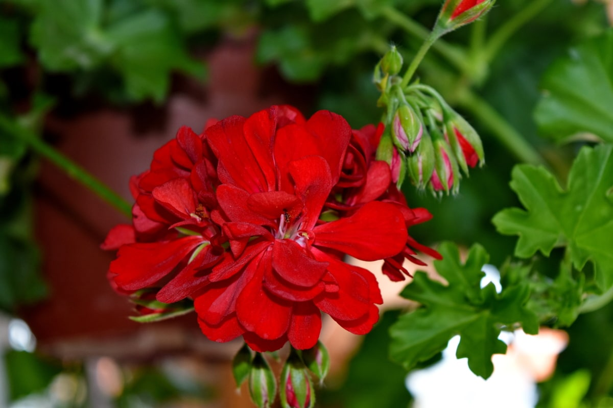 kivirul, szirom, virág, természet, Flóra, gyógynövény, muskátli, növény
