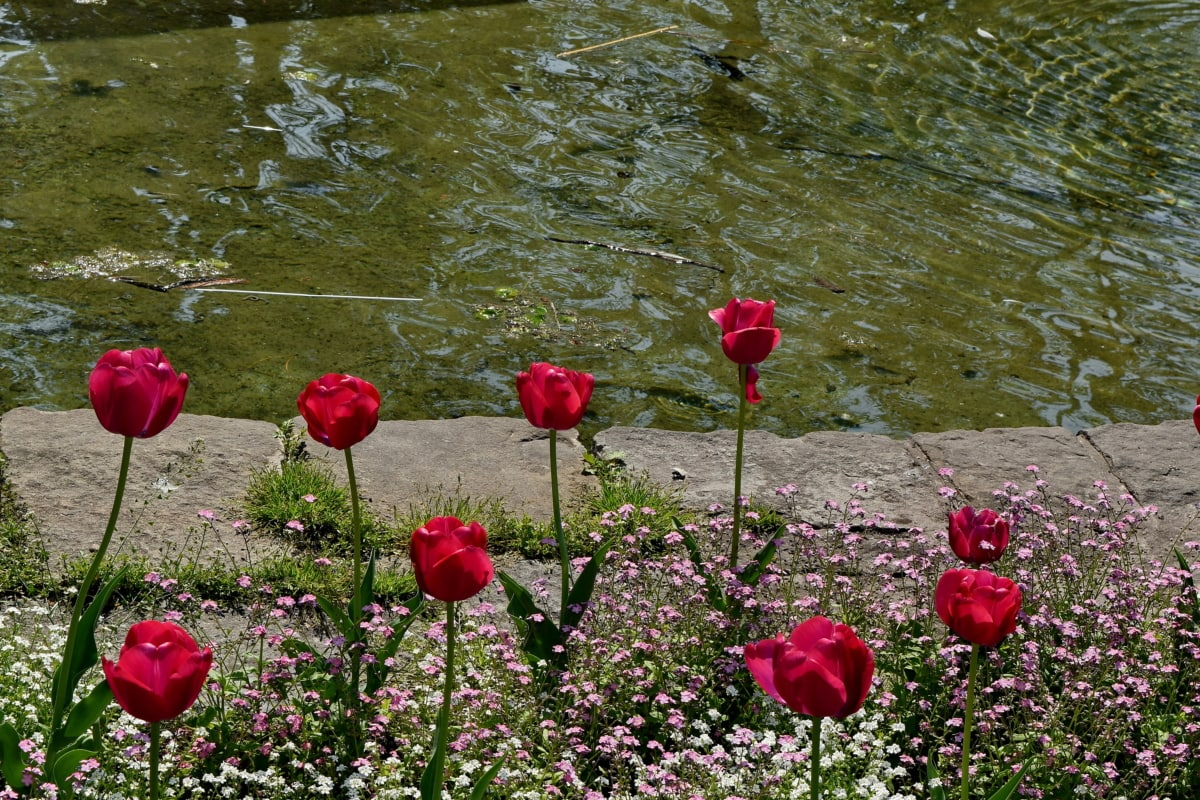 garden, lake, tulips, field, spring, bloom, flower, summer
