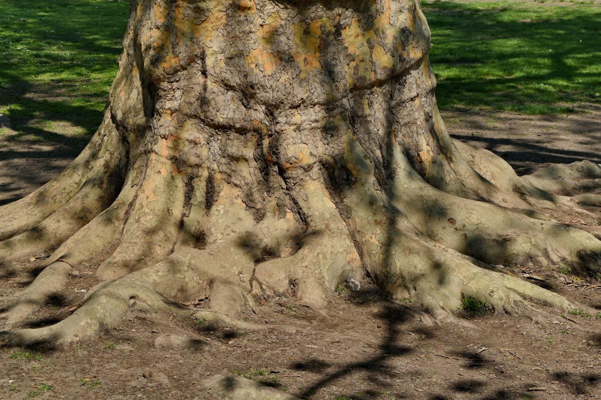 veliki, tlo, stari, korijeni, priroda, drvo, na otvorenom, drvo