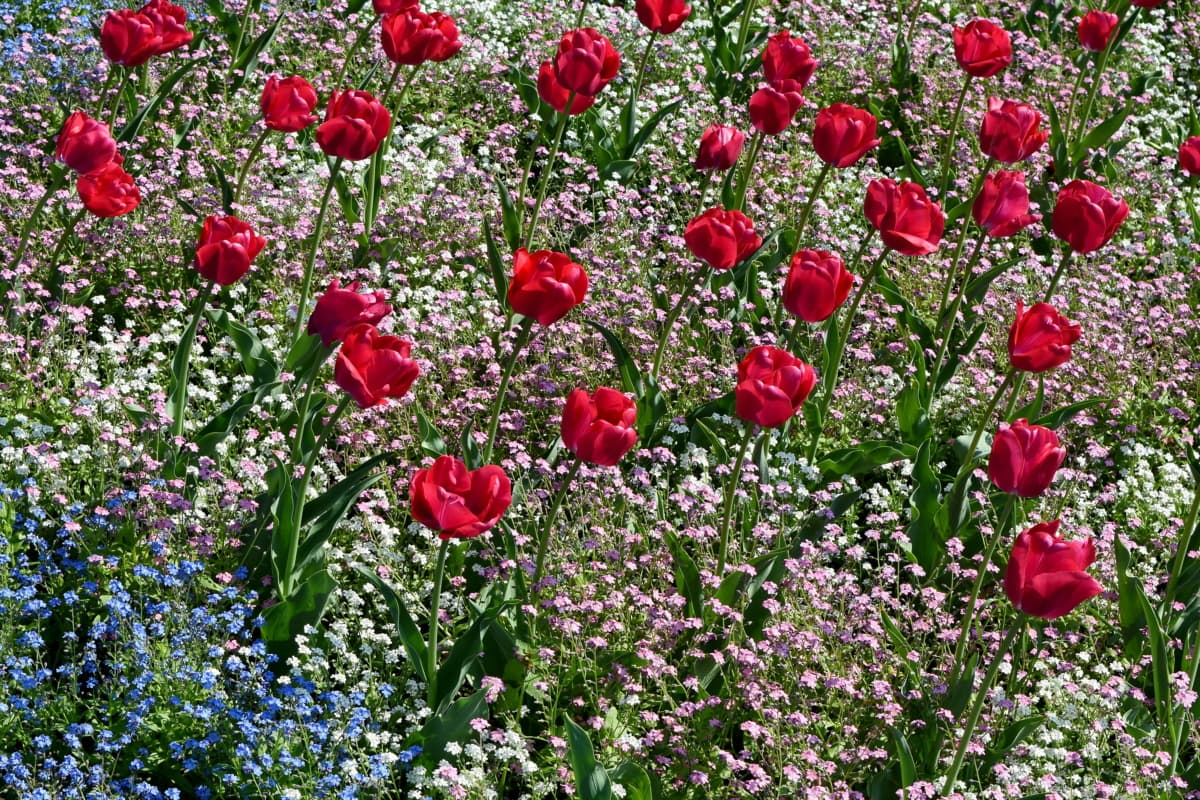 garden, tulips, field, nature, herb, plant, flower, poppy