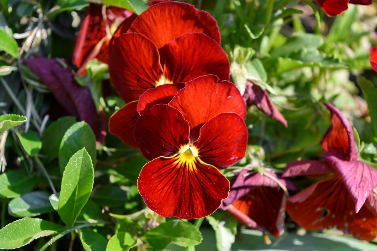 Petunia, natur, flora, blad, plante, haven, blomst, Prydplante