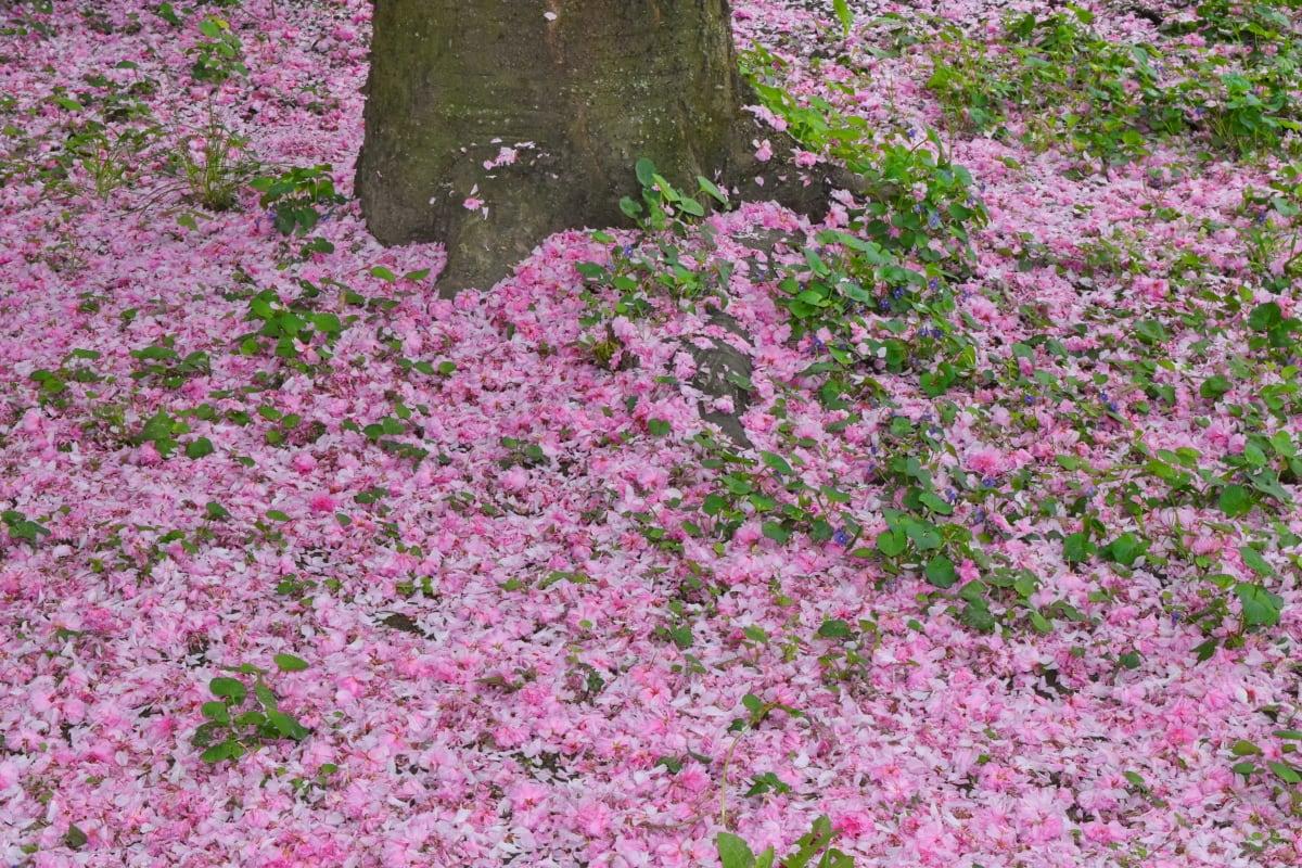 latice, ružičasto, korijeni, drvo, biljka, vrt, cvijet, flore