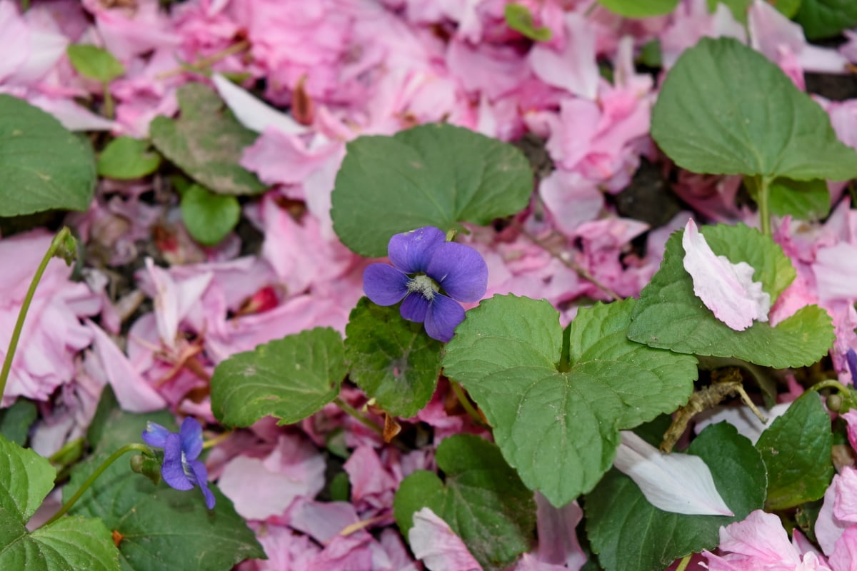 jorden, kronblade, lyserød, plante, blomst, plante, natur, blad