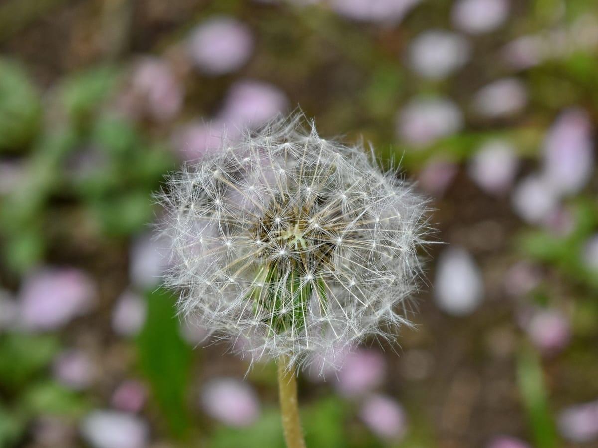 dente di Leone, Dettagli, macro, fiore, pianta, erba, Flora, estate