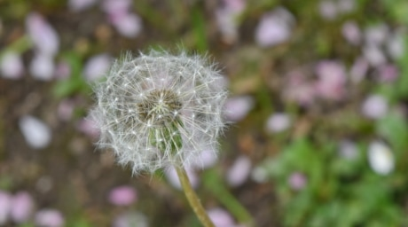 dandelion, flower, nature, summer, flora, plant, herb, outdoors