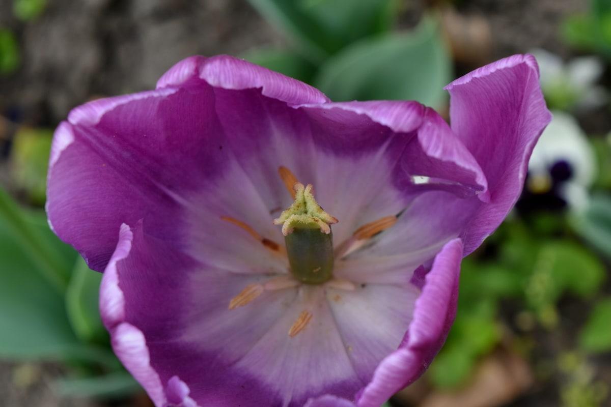 ekologie, poupě, zahradnictví, Jarní čas, tulipány, zahrada, okvětní lístek, květ