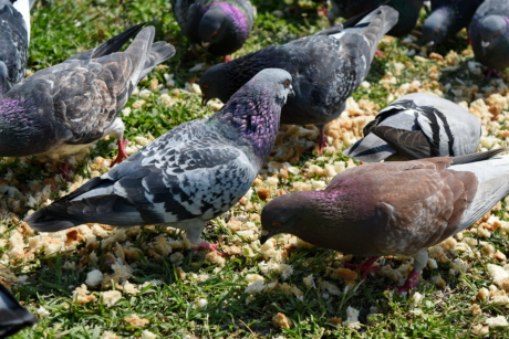 bird, beak, feather, wildlife, pigeon, dove, nature, garden
