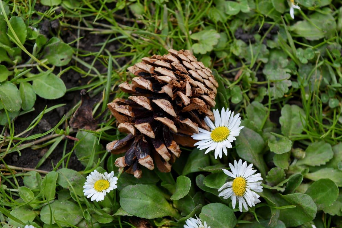 sedmikrásky, zelená tráva, louka, Příroda, Flora, květ, sedmikráska, bylina