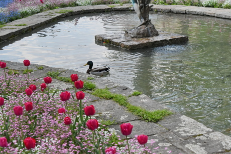 duck, fountain, garden, tulips, water, flower, nature, summer
