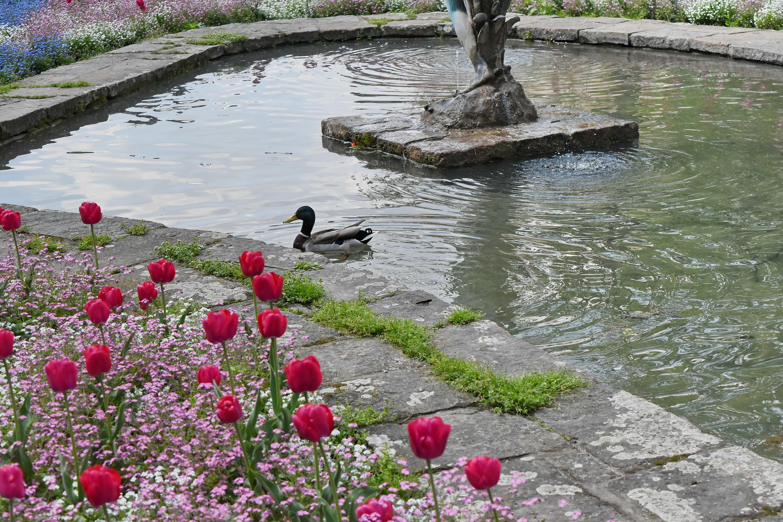 Kostenlose Bild Ente Brunnen Garten Tulpen Wasser Blume Natur