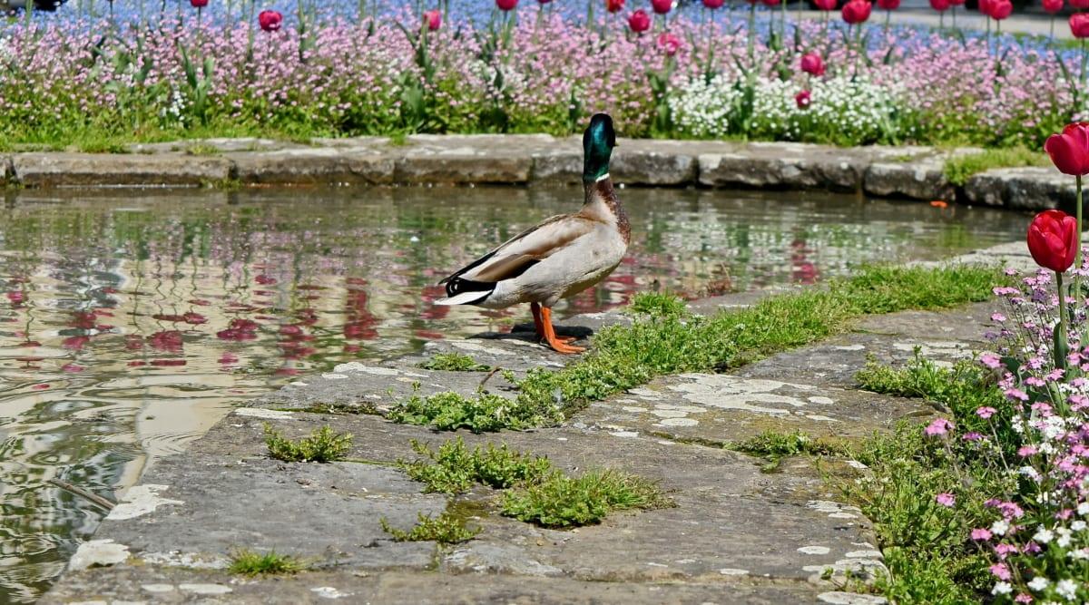 garden, tulips, bird, lake, nature, waterfowl, duck, water