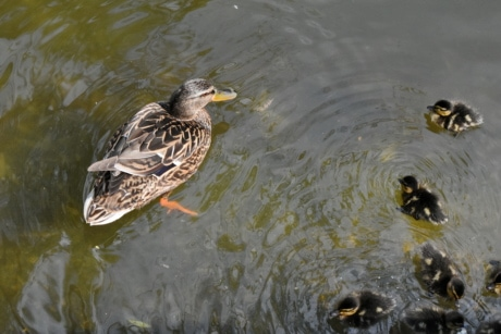 duckling, water, wildlife, duck bird, nature, bird, pool, waterfowl
