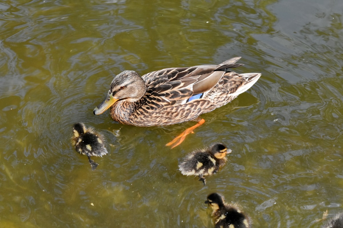 duckling, wildlife, duck, water, duck bird, bird, waterfowl, lake